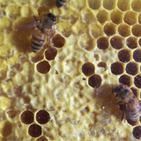 honey bee and comb